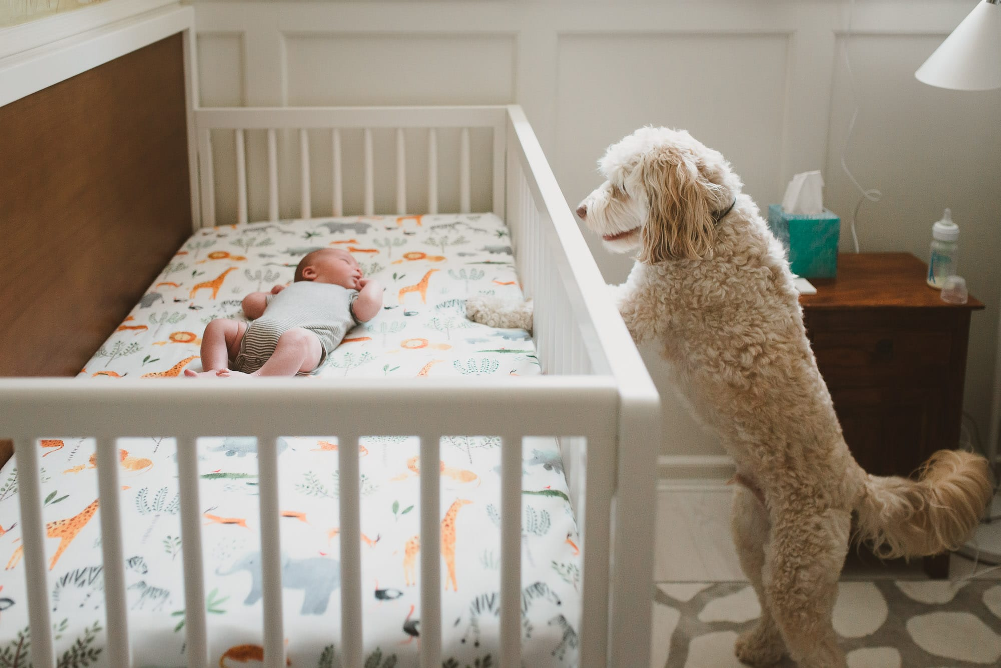 dog watching newborn captured by vancouver newborn photographer